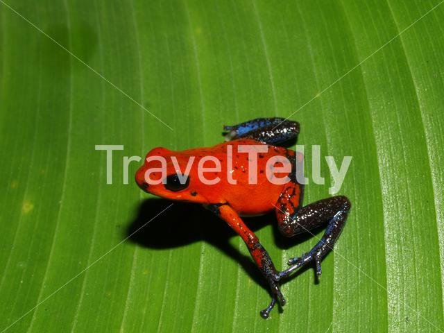 Strawberry poison frog in Tortuguero National Park Costa Rica