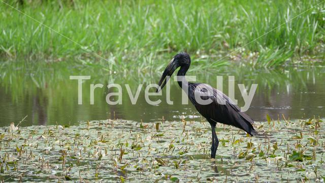 African openbill standing in a lake