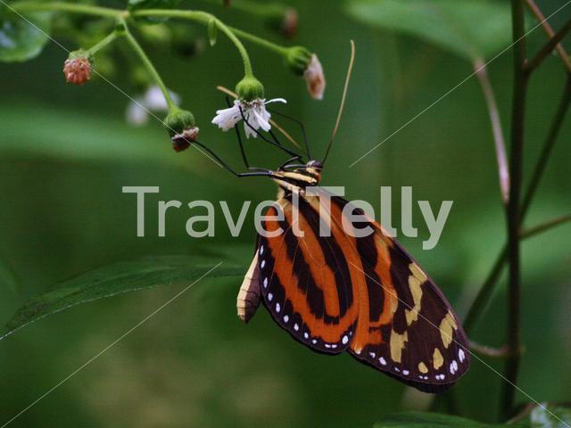 Butterfly in Corcovado National Park