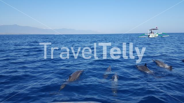 Dolphins in the sea around Singaraja Bali
