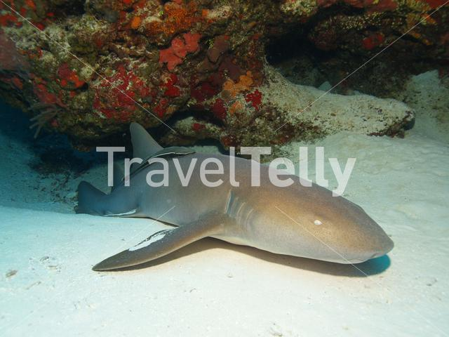 Nurse shark with Remora in the Mesoamerican Reef Mexico