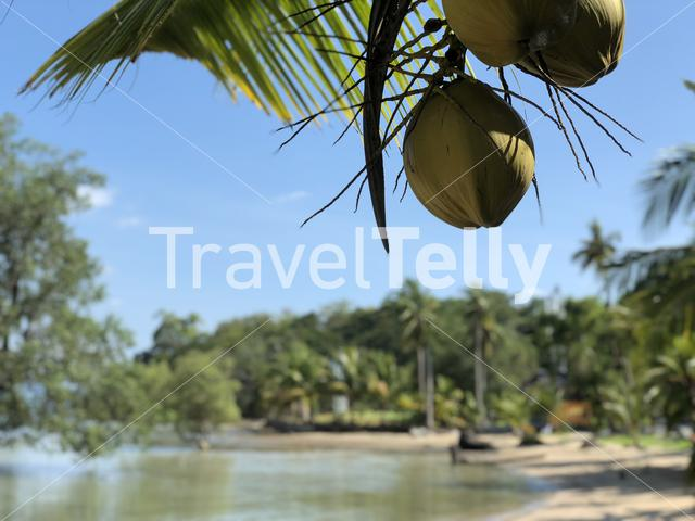 Coconuts on Koh Mook island in Thailand