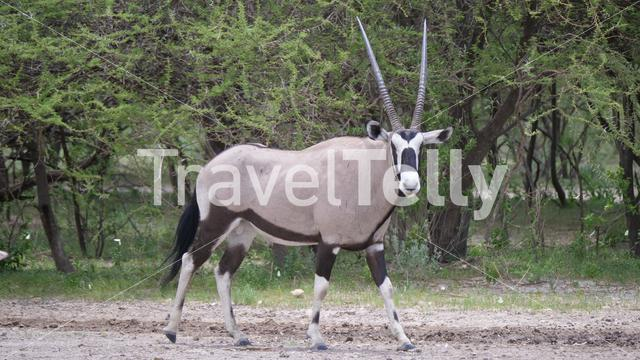 Gemsbok looking in to the camera in Central Kalahari Game Reserve, Botswana