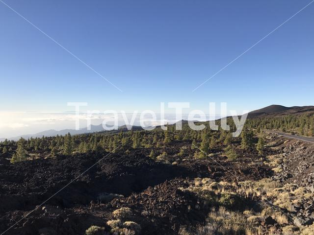 Fir landscape at Teide National Park in Tenerife the Canary Islands