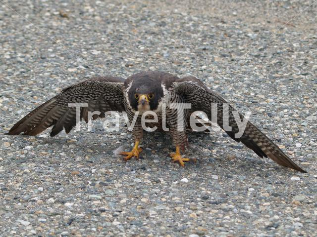 Peregrine Falcon wounded in Yukon Canada