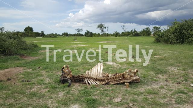 Buffalo carcass in Chobe National Park Botswana