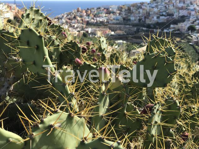 Cactus with Las Palmas old town Gran Canaria in the beackground