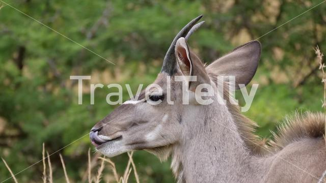 Young male nyala in Pilanesberg National Park Game Reserve South Africa