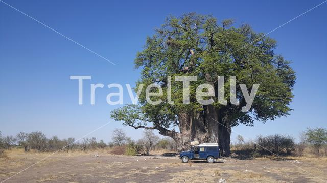 Big baobab tree at Naye-naye concession area in Namibia