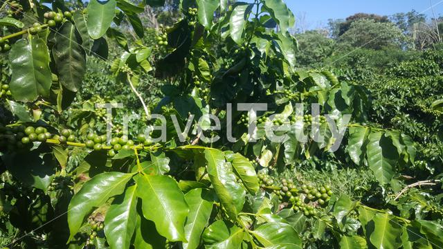Coffee beans at Mabuda Guest Farm in Swaziland