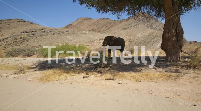 Elephant in the shadow under a tree at Hoanib riverbed in Namibia