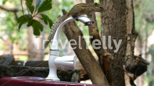 Chipmunk sitting on a water tab in Arugam Bay Sri Lanka