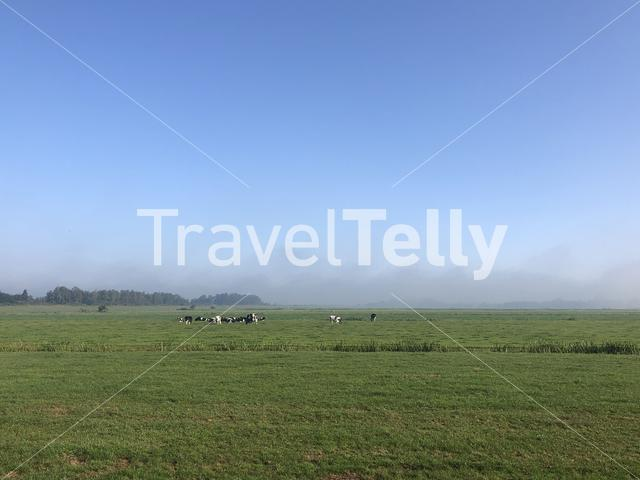Cows in the meadow around Tijnje in Friesland The Netherlands
