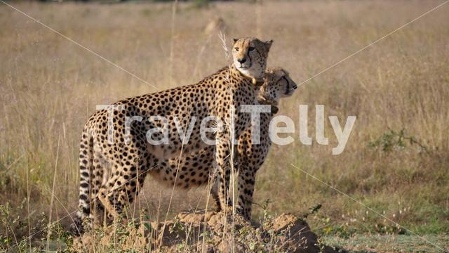 Two cheetahs stand together and looking around in waterberg South Africa