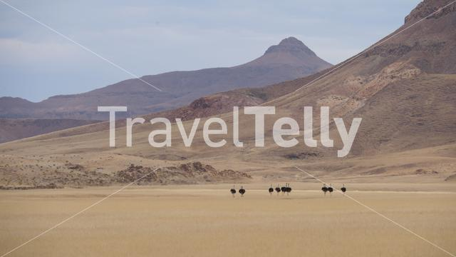 Herd of ostrich at the Hoanib Riverbed in Namibia