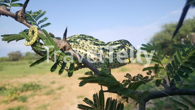 African chameleon on a branche At Khama Rhino Sanctuary in Botswana