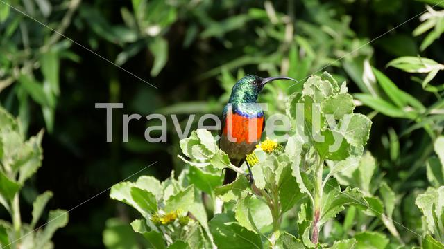 Greater Double-collared Sunbird in Drakensberg South Africa