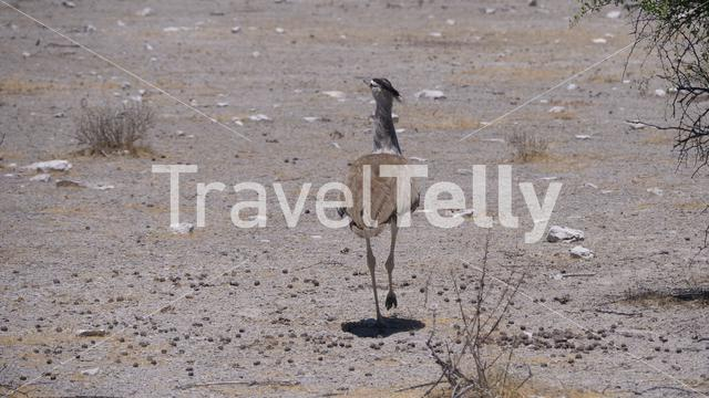 Kori bustard walking on a dry savanna in Etosha National Park, Namibia