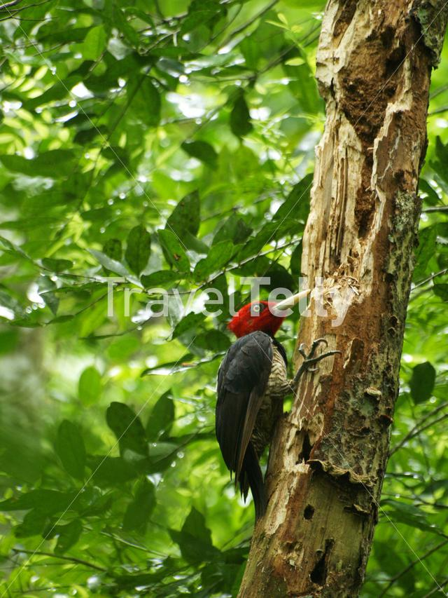 Pale-billed woodpecker in a tree at Tikal National Park Guatemala