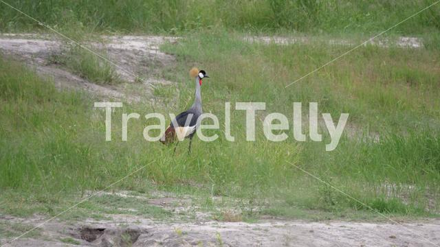 African crowned crane at Hwange National Park in Zimbabwe