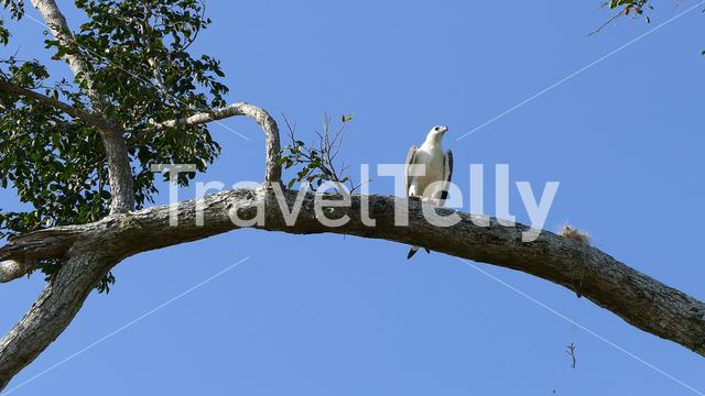 Big eagle in a tree in Udawalawe national Park Sri Lanka