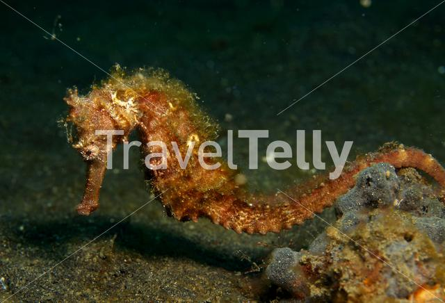 Red Seahorse in Lembeh Sulawesi Indonesia