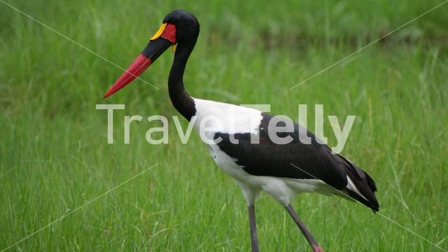 Saddle-billed stork in a wetland