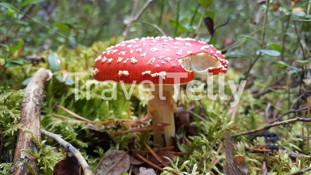 Fly agaric or fly amanita a red mushroom Koivusuo Strict Nature Reserve Finland