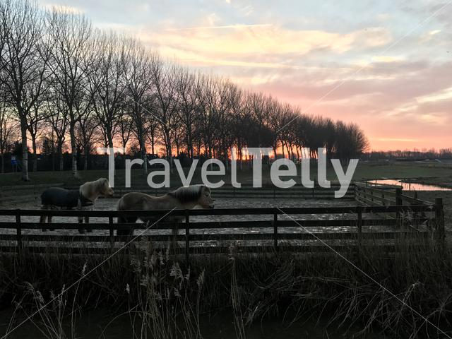 Sunrise with horses in Sneek The Netherlands