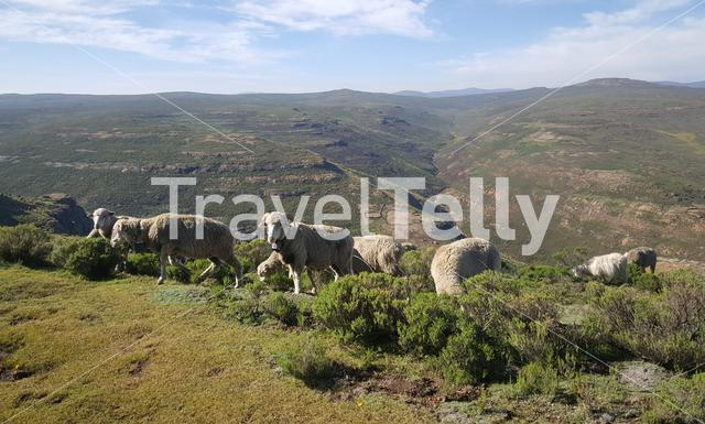 Sheeps in the mountains around Thaba-Tseka in Lesotho Africa