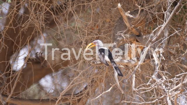 African hornbill in a tree at Hoanib Riverbed in Namibia