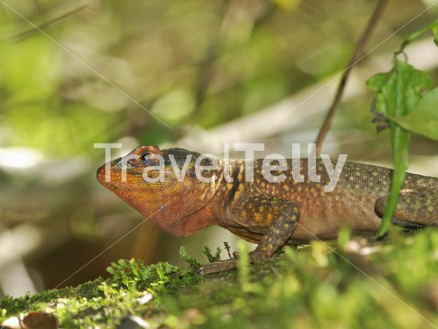 Eastern Collared Spiny Lizard