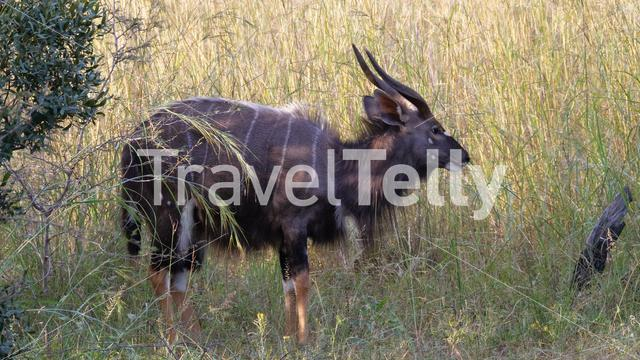 Nyala in Pilanesberg National Park Game Reserve South Africa