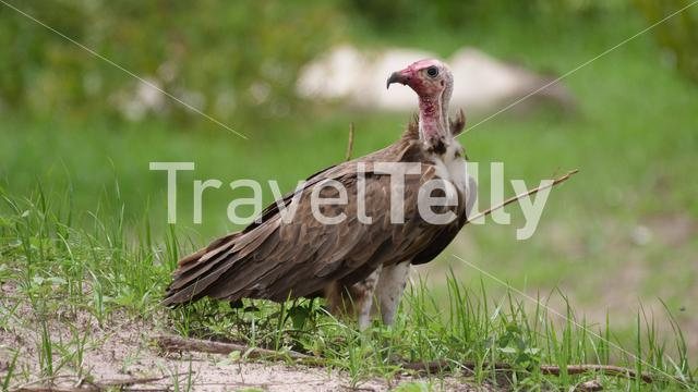 Close up of a vulture in the Gambia
