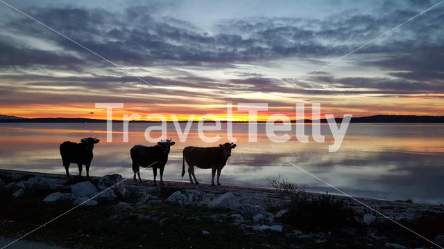 Cows during sunset in National Park of amvrakikos wetlands in Greece