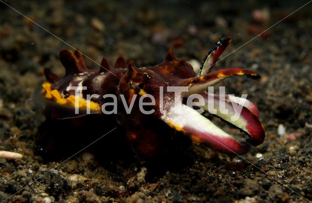 Flamboyant cuttlefish in Lembeh Sulawesi Indonesia