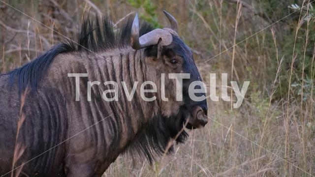 Wildebeest at the savanna in Waterberg South Africa