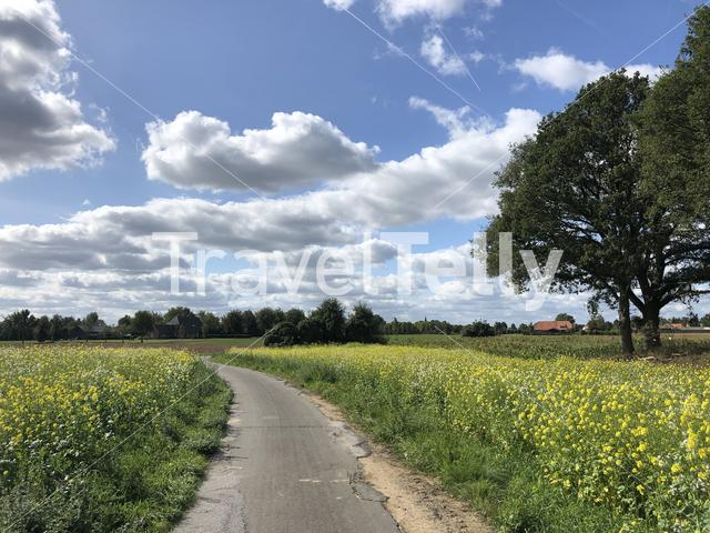 Path through a field of yellow flower in Munsterland, Germany