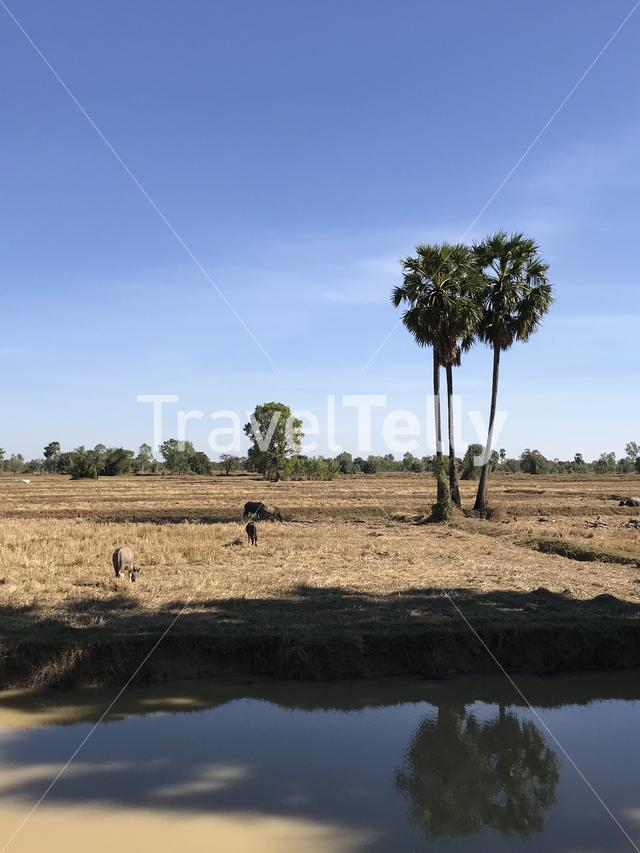 Field with water buffalos in Thailand