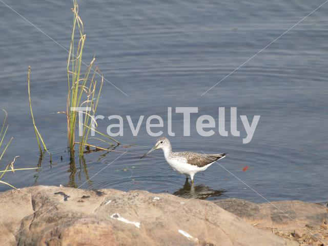Sandpiper in a lake at Ranthambore National Park India