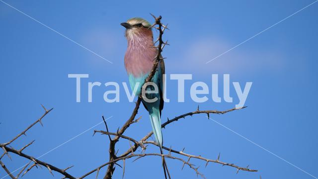 Lilac-breasted roller on a branch in Pilanesberg Game Reserve South Africa