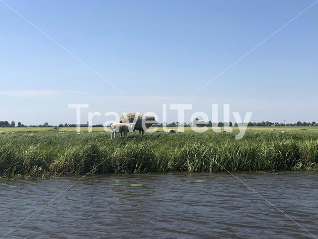Mother sheep with her young next to the canal bozumervaart in Friesland, The Netherlands