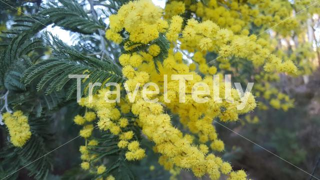 Close up from mimosa flowers