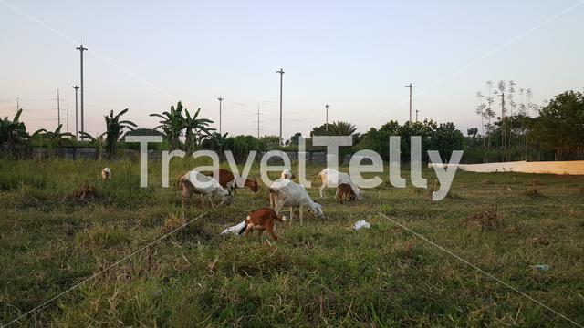 Goats in Sugar plantation in Pampanga, Luzon, Philippines