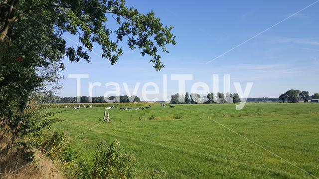 Cows in meadow around Luttenberg Overijssel The Netherlands