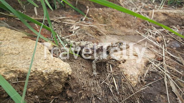 Agama lizard at The ruins of Great Zimbabwe
