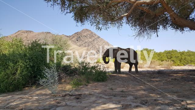 Elephant eating under a tree at Hoanib riverbed in Nambia