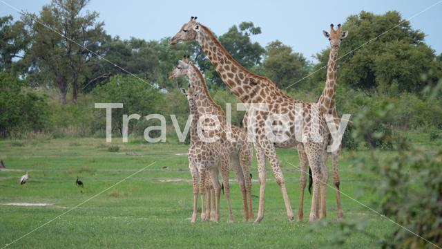 Giraffe family standing together