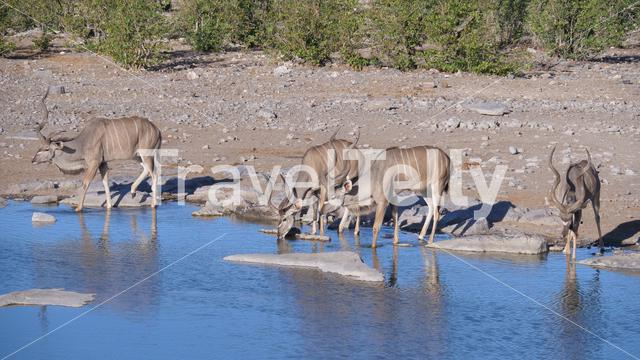 Four greater kudus drinking from a pond