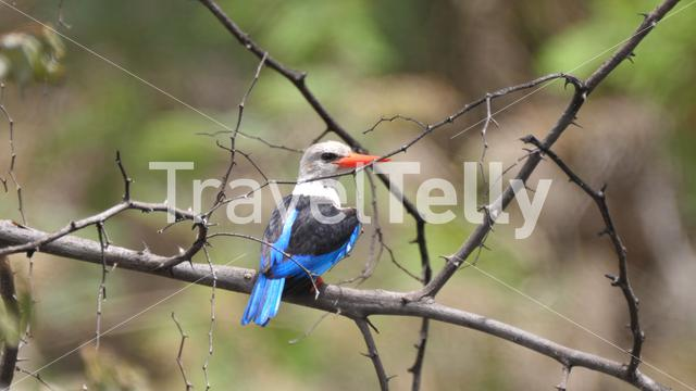 Common paradise kingfisher on a branch in Bao Bolong Wetland Reserve a National park in Gambia, Africa